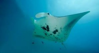 original-diving-manta.jpg
